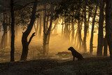 Dog sits in a tight fog in pine forest at dawn in the morning in