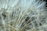 Close Up of a Dandelion Clock