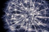 Constellation Dandelion