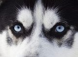 Close up on blue eyes of husky