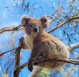 Koala in Great Ocean Road, Victoria, Australia