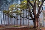 big beech tree in foggy forest