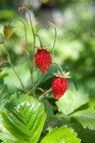 Wild strawberries close up
