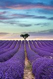 Lavender field Summer sunset with tree on the horizon
