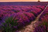 Lavender field on sunrise, Valensole plateau (France)