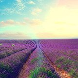 Lavender flowers field rows with summer blue and pink sunset sky with shining sun, Provence, France retro toned