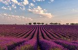 Gentle pink sunrise over the endless lavender fields in Provence, France