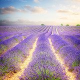 Lavender field at morning