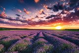Lavender flower blooming fields in endless rows. Sunset shot.