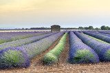 Lavender field at sunset in Provence