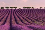 Lilac sunrise at summer lavender field near Valensole, Provence, France