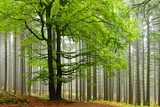 Big Beech Tree, Foggy Forest of Spruce Trees behind