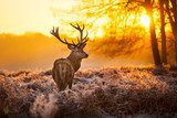 Red Deer in morning Sun.