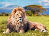 Big lion lying on savannah grass. Kenya, Africa
