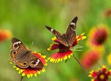Buckeye butterflies on Indian Blanket flowers