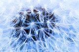 The Dandelion background.