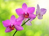 purple orchid on green background