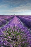 Lavender field in Provence during early hours of the morning