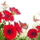 Multi-colored gerbera daisies and butterfly