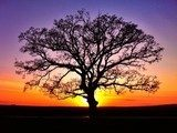 Big tree silhouette, sunset