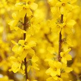 Yellow Flowers. Beautiful Forsythia Bloom in Springtime