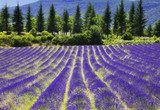 Lavender flower blooming.SUmmer background.Provence,France.