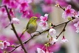 Japanese White-eye with pink cherry blossoms