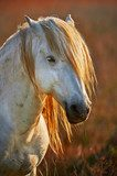 Portrait of a white horse of Camargue in backlight at the sunset