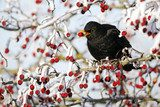 Blackbird, Turdus merula, male