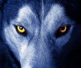 beautiful eyes of a wild wolf.