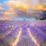 Lavender flowers field rows with spectacular blue and pink sunset sky with rainbow, Provence, France