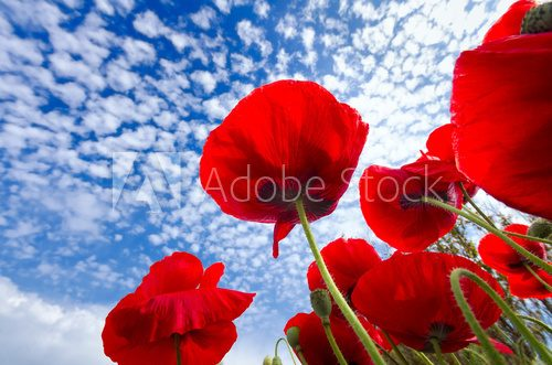 Red Corn Poppies