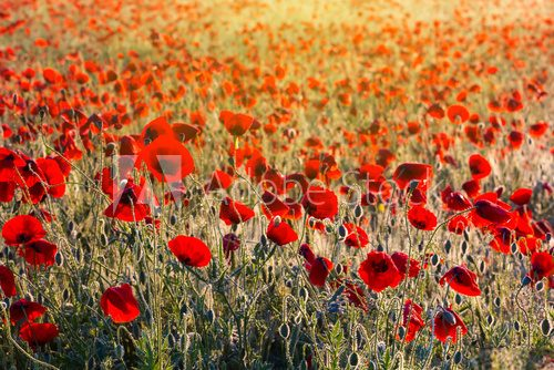 beautiful morning poppy field