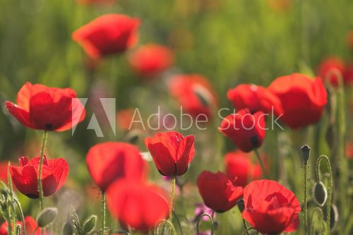Red Anemone Flowers