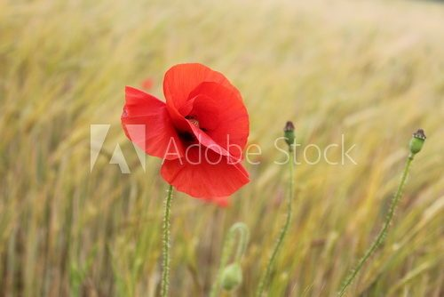 Red Poppy in Cornfield