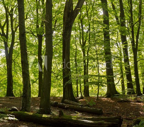 Typical english deciduous woodland