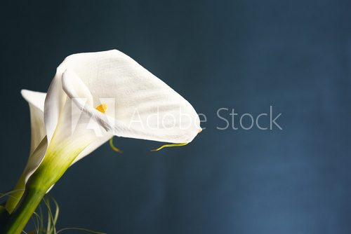 White calla, isolated on blue background.