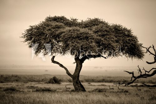 Lone acacia tree with gazelles in sepia