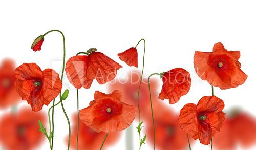 groop of red poppy flowers on white